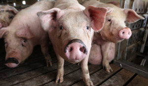 PIGS-1-articleLarge-300x175